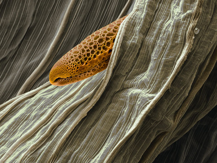 National-geographic-pollen-microscopie